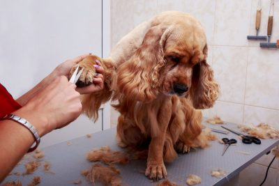 Cachorro estranho depois do banho e tosa, por que? 1