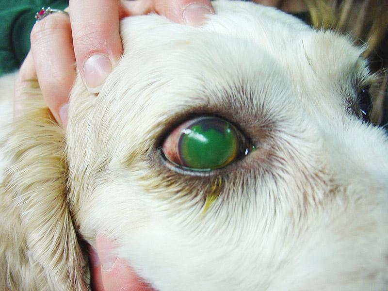 Entenda a úlcera de córnea em cachorros: sintomas e tratamentos 11
