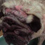 Dermatite alérgica canina: causas e opções de tratamento 5