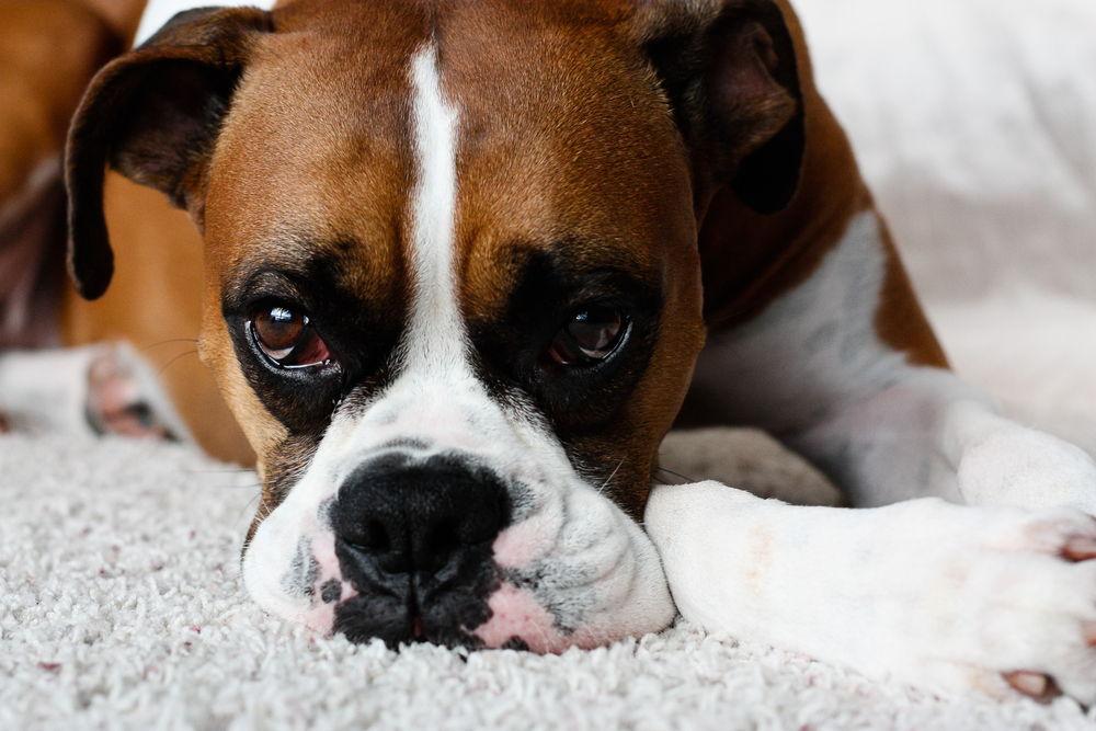 Os 6 problemas comuns com os olhos do cão boxer que você precisa saber 10