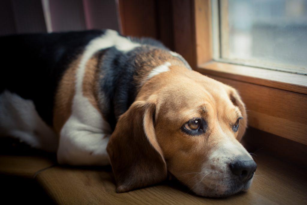 Como saber se o cachorro está sentindo dor? Nove formas de identificar 3