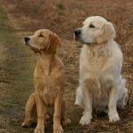 Golden Retriever é um cachorro hipoalergênico? 6