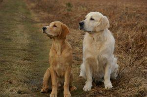 Golden Retriever é um cachorro hipoalergênico? 8