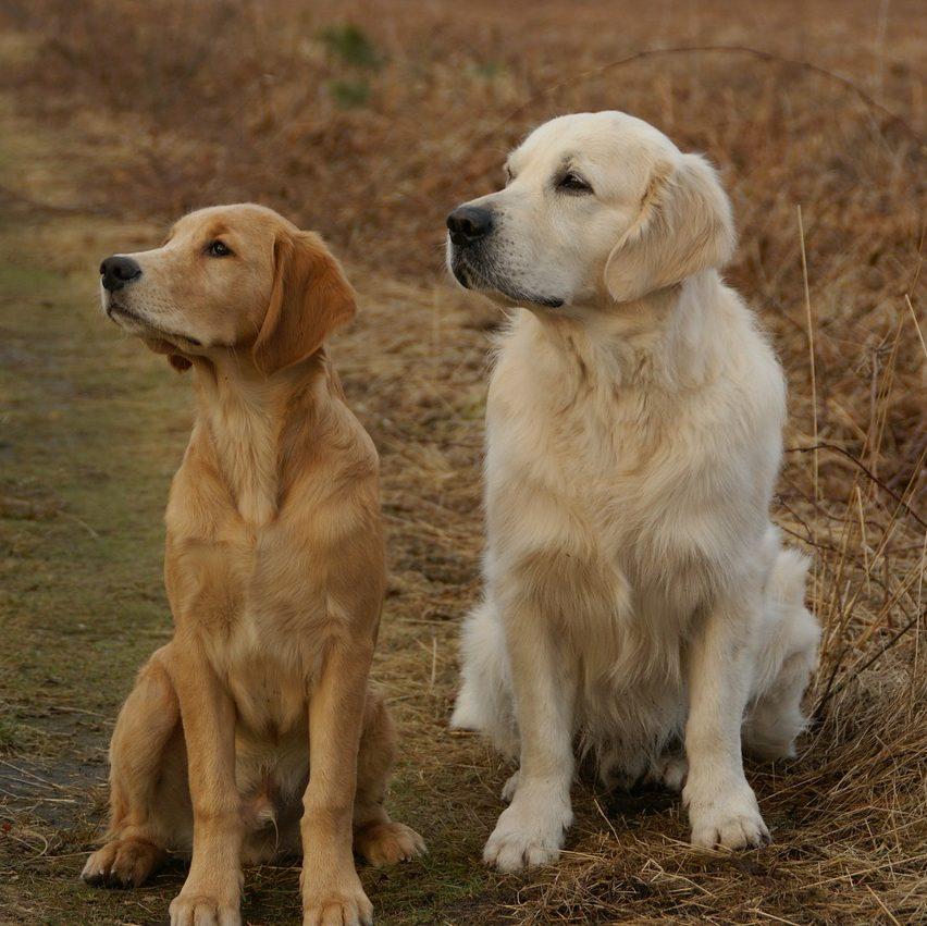 Golden Retriever é um cachorro hipoalergênico? 1