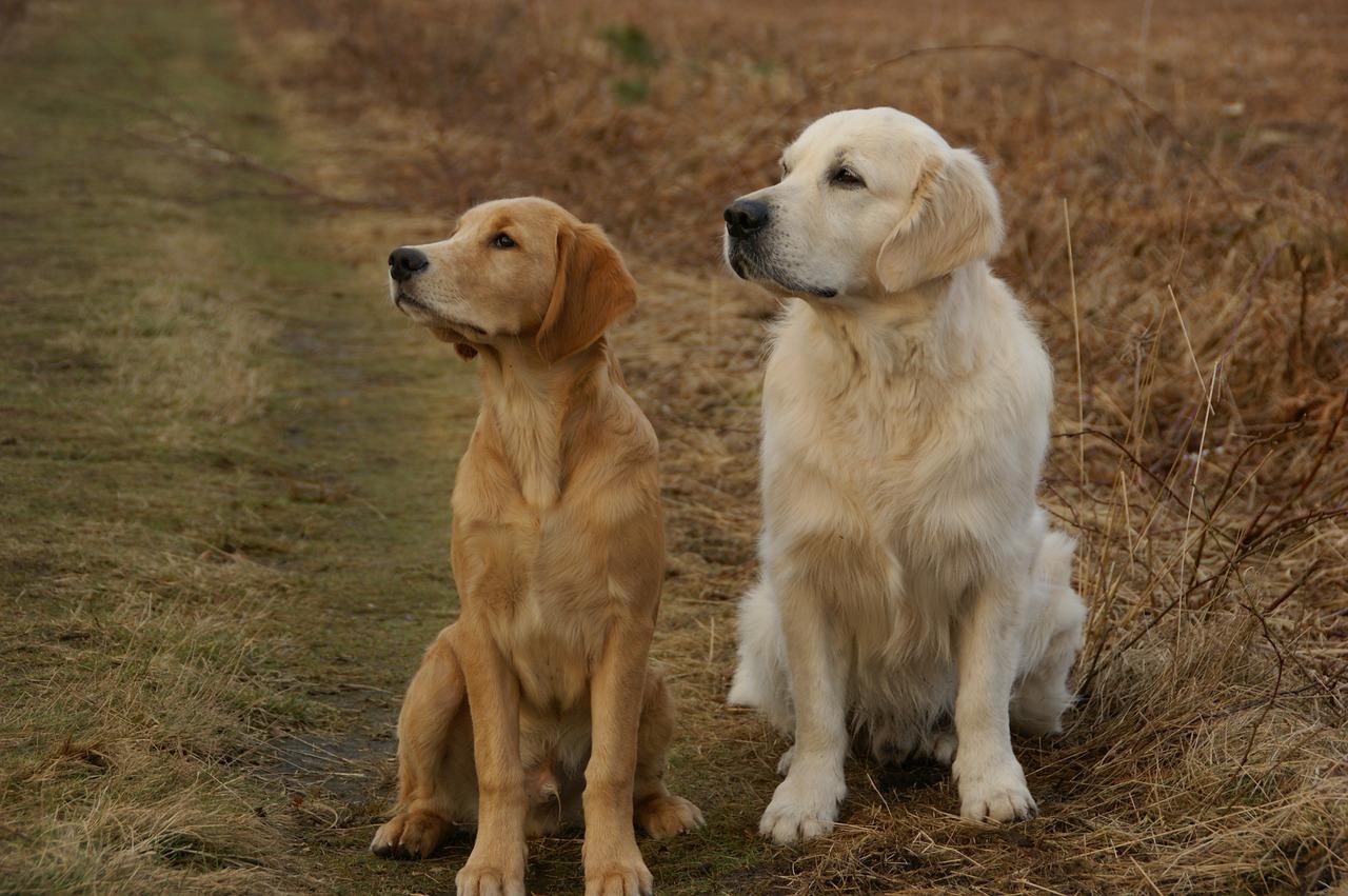 Golden Retriever é um cachorro hipoalergênico? 4