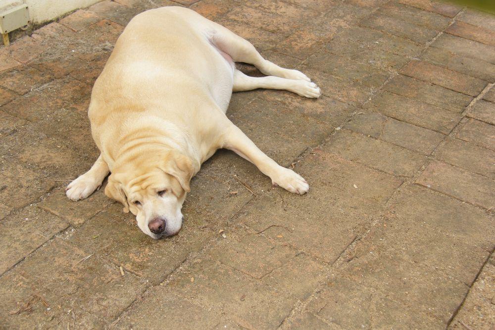 14 doenças comuns em Labrador Retriever 9