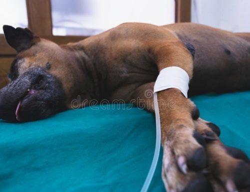 Insuficiencia renal em cachorros – guia completo