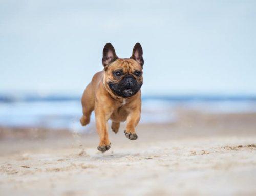 Problemas respiratórios do Bulldog Francês: coisas a saber