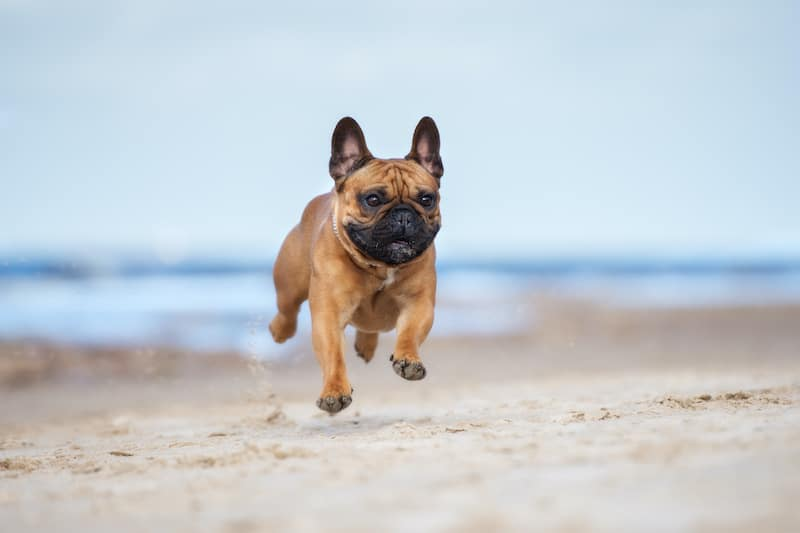 Problemas respiratórios do Bulldog Francês: coisas a saber 1