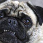 Por que o Pug fede tanto? O que fazer para Pug cheirar bem? 9