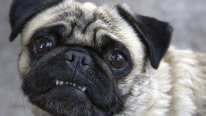 Por que o Pug fede tanto? O que fazer para Pug cheirar bem? 11