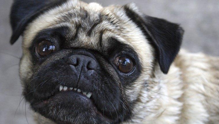 Por que o Pug fede tanto? O que fazer para Pug cheirar bem? 12