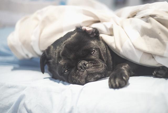 Por que meu Pug ronca? É normal dormindo ou acordado? 9