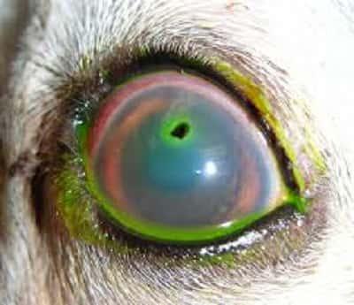 Úlcera de córnea em Pugs: sintomas e tratamento 16