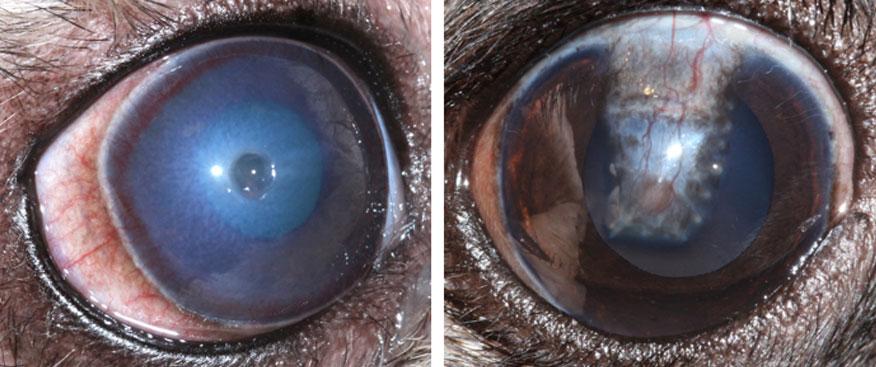 Entenda a úlcera de córnea em cachorros: sintomas e tratamentos 12