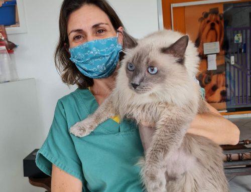 Dermatologia para gatos: tudo o que você precisa saber sobre a saúde da pele e pelo do seu felino – Dermatologista para gatos em São Paulo