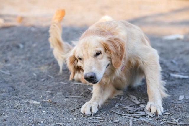 8 razões possíveis para a perda excessiva de pelo do seu cão 3
