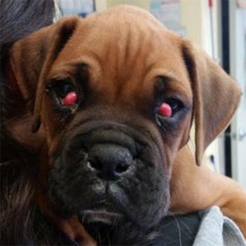 Olho de cereja em cães - fotos, o que é e como tratar 8