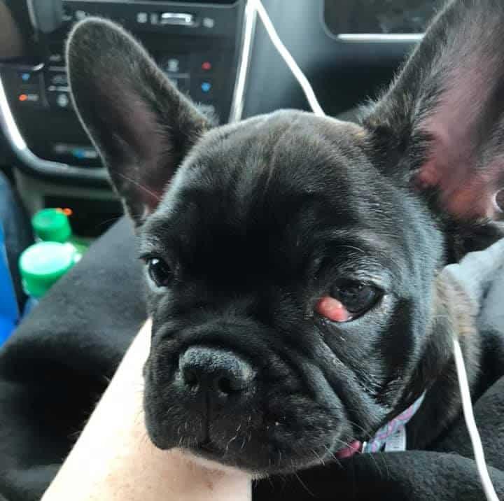 Olho de cereja em cães - fotos, o que é e como tratar 6