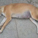 Inchaço na barriga do cachorro: o que pode ser e como tratar e prevenir 2