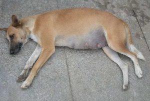 Inchaço na barriga do cachorro: o que pode ser e como tratar e prevenir 3