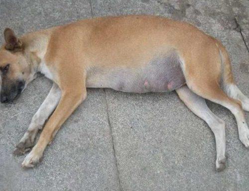 Inchaço na barriga do cachorro: o que pode ser e como tratar e prevenir