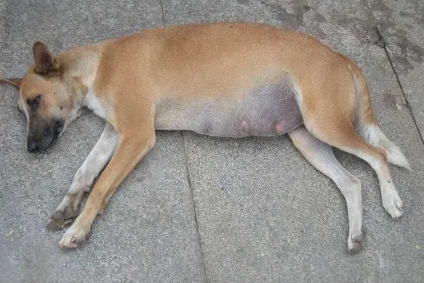 Inchaço na barriga do cachorro: o que pode ser e como tratar e prevenir 1