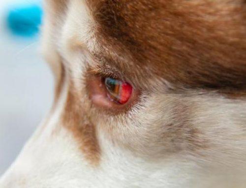 Mancha de sangue nos olhos do cachorro? Saiba o que é, os riscos e o que você pode fazer