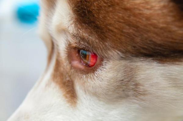 Mancha de sangue nos olhos do cachorro? Saiba o que é, os riscos e o que você pode fazer 18
