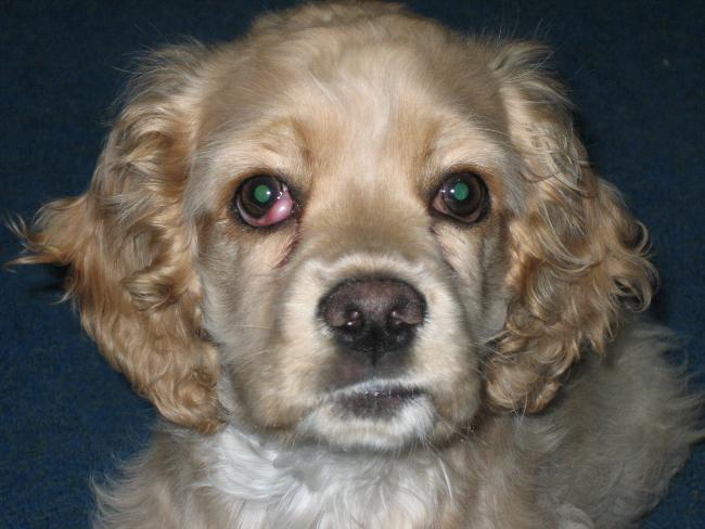 Olho de cereja em cães - fotos, o que é e como tratar 5