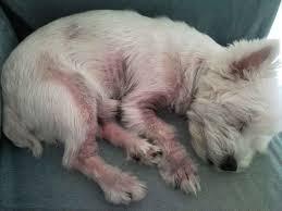 Doenças de pele em cães mais comuns e seus tratamentos 3