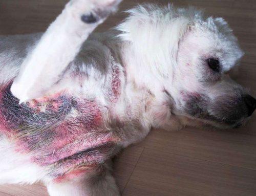 Doenças de pele em cães mais comuns e seus tratamentos