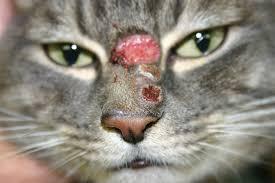 Problemas e doenças de pele em gatos - saiba como identificar e tratar 3