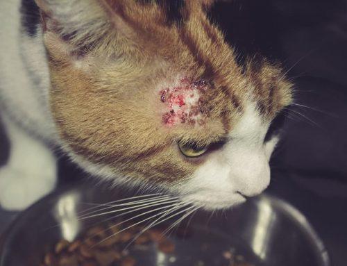 Feridas na pele de gato e como tratá-las