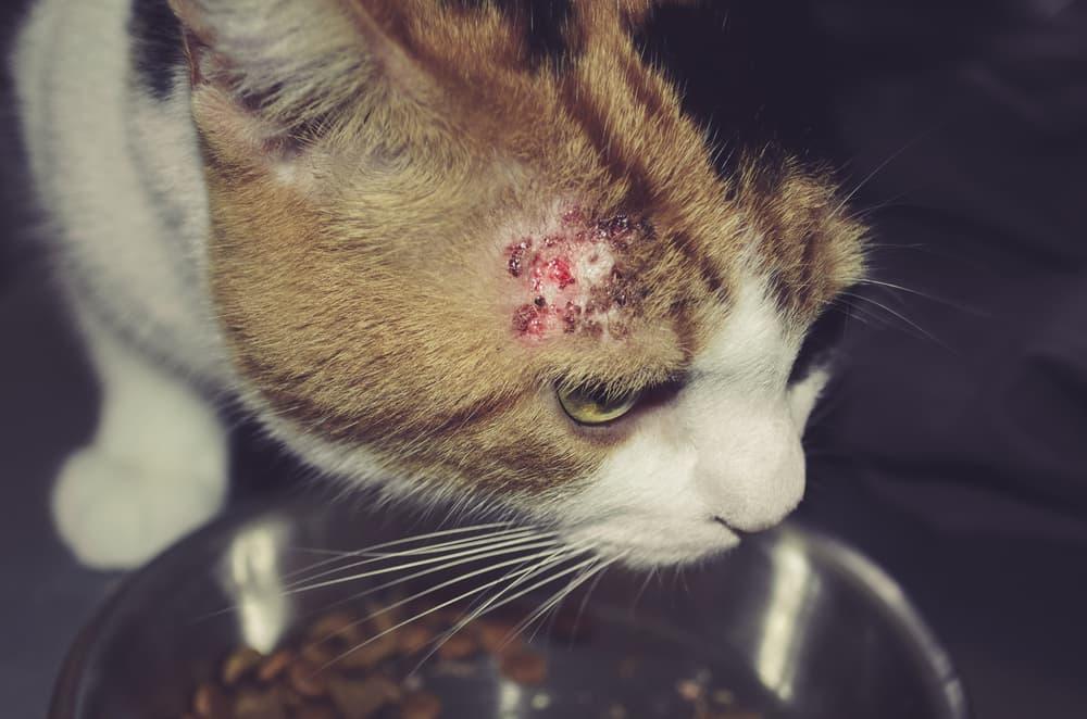 Feridas na pele de gato e como tratá-las 2