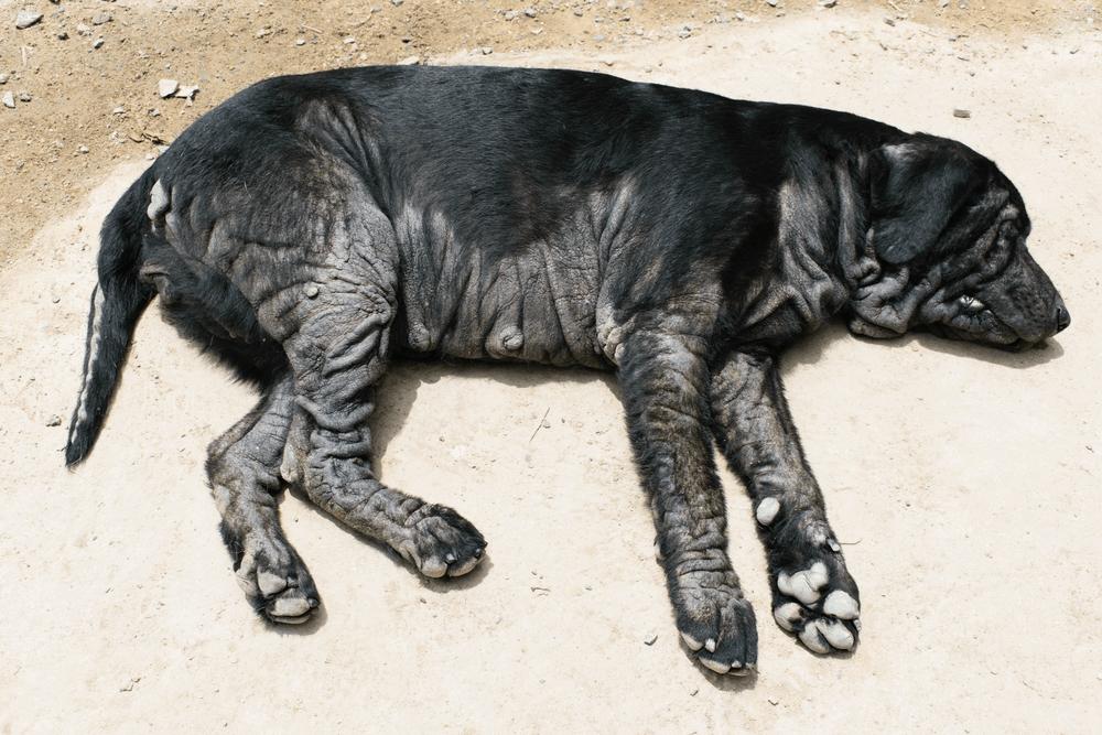 Doenças de pele em cães mais comuns e seus tratamentos 4