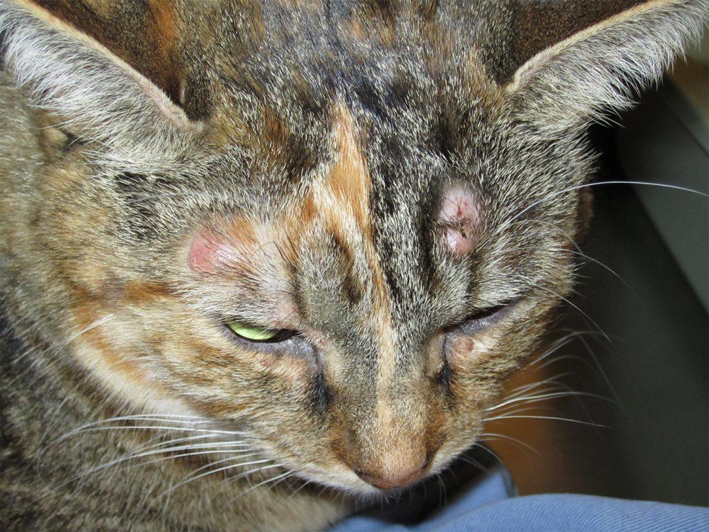 Problemas e doenças de pele em gatos - saiba como identificar e tratar 2