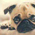 Úlcera de córnea em Pugs: sintomas e tratamento 11