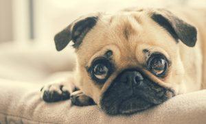Úlcera de córnea em Pugs: sintomas e tratamento 7