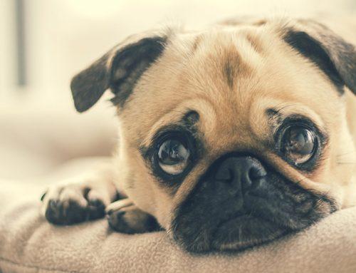 Úlcera de córnea em Pugs: sintomas e tratamento