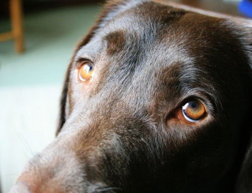 Teste para saber se meu cachorro enxerga bem e quando levá-lo ao oftalmologista