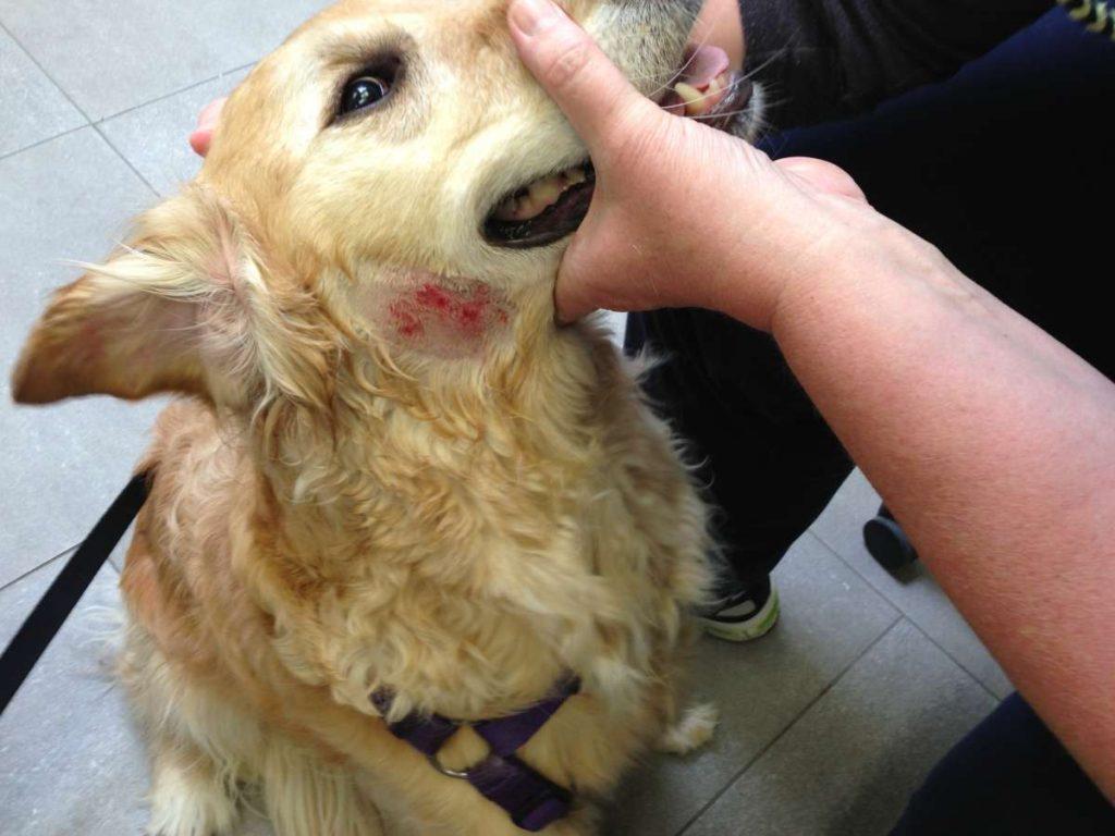 Doenças de pele em cães mais comuns e seus tratamentos 7