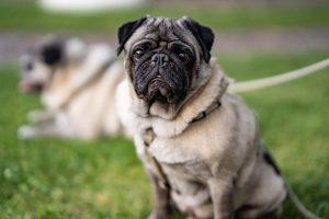 Constipação em Pug: o que fazer para que seu Pug faça cocô 3