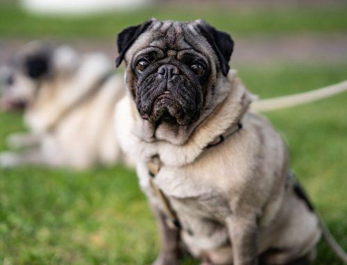 Constipação em Pug: o que fazer para que seu Pug faça cocô