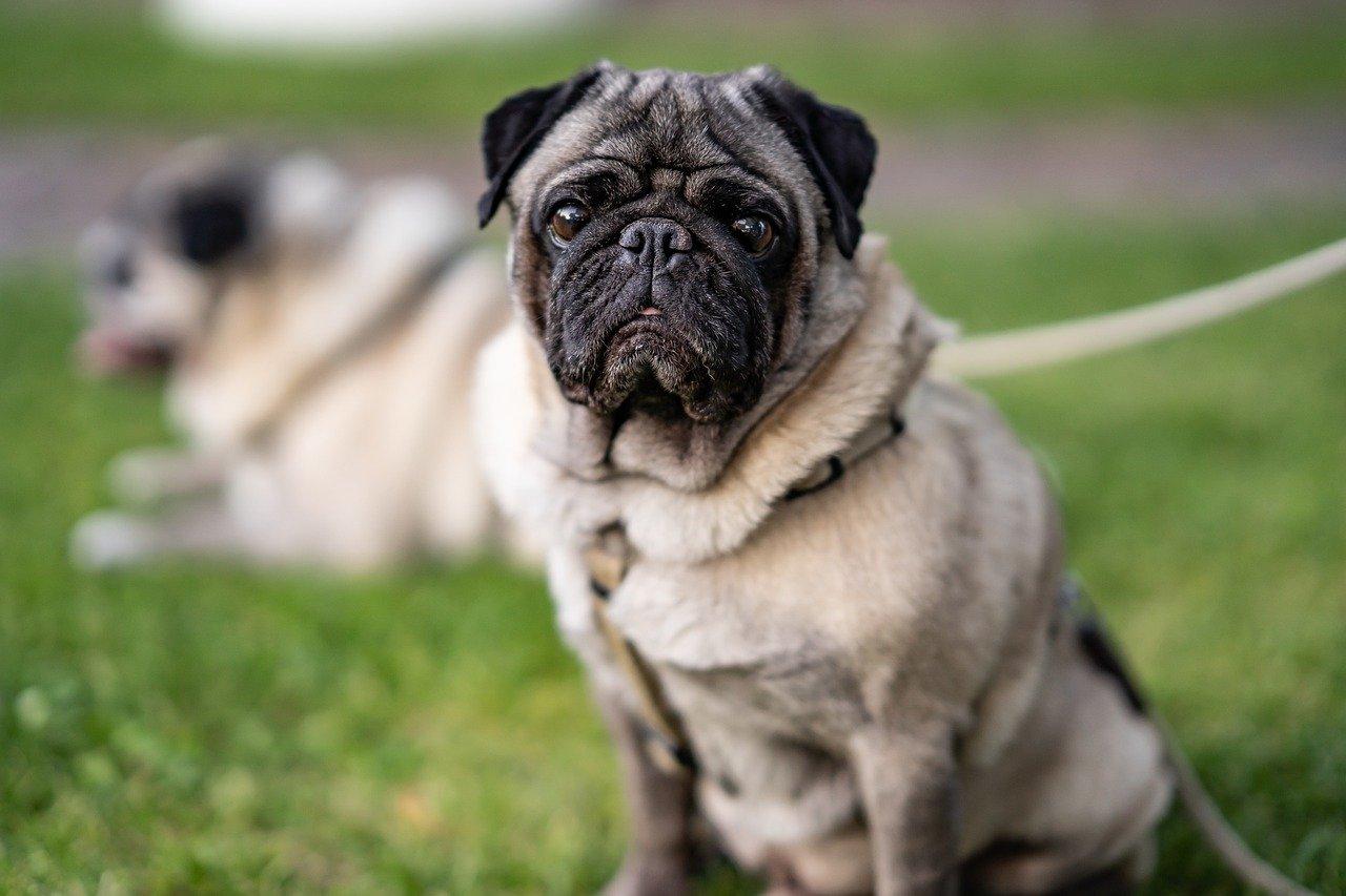 Constipação em Pug: o que fazer para que seu Pug faça cocô 1