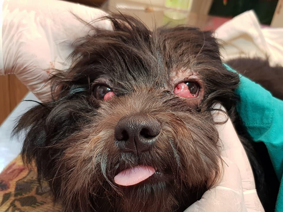 Olho de cereja em cães - fotos, o que é e como tratar 2