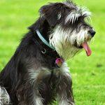 Colesterol alto em cachorro é sinal de perigo? Hiperlipidemia em cão 3