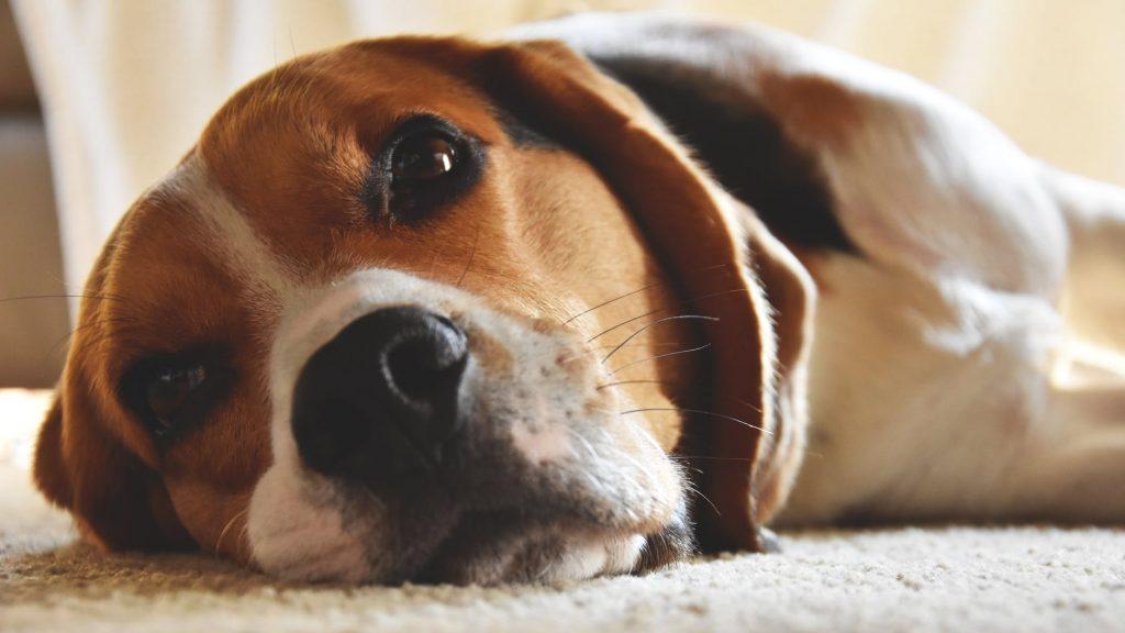 Beagles com olhos vermelhos e olho com sangue dentro da parte branca. O que pode ser? 10