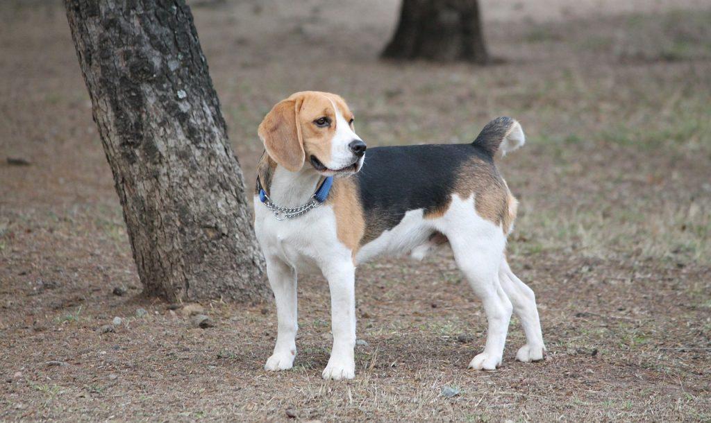6 problemas de saúde comuns em beagle 1