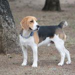 6 problemas de saúde comuns em beagle 18